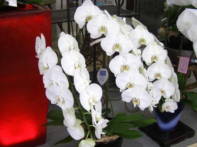 胡蝶蘭 通販 花 植物 の ネット通販 販売 姫路市 ひめじ園芸総合センター