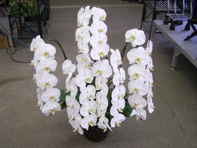 胡蝶蘭 通販 花 植物 ネット販売 姫路市 ひめじ園芸総合センター 安値で販売